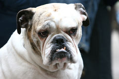 Close up of bulldog with canines. A close up of an old bulldog with visible canines Stock Photos