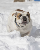 Close up of bulldog in the snow Royalty Free Stock Image