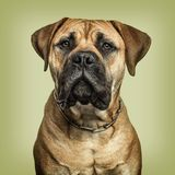 Close-up of Bullmastiff looking to camera against green backgrou stock photos
