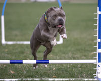 Close up of bully going over agility jump Stock Photos