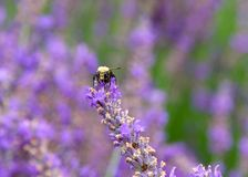 Close up of a bumble bee on french lavender flowers stock image