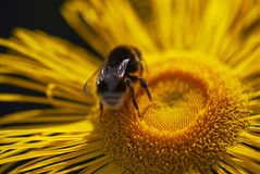 Close up of bumble-bee landing on a yellow daisy Stock Photo