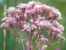 Close up of bumble bee on pink flowering milkweed plant royalty free stock images