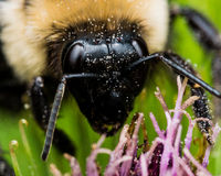 Close up of Bumble Bee on Purple Flower Stock Photos