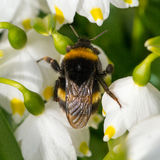 Close up Bumble bee sleeping on a flower. Royalty Free Stock Photography