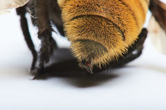 Close up bumble bee sting Stock Image