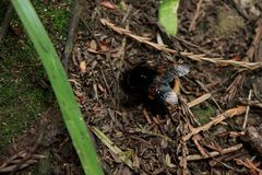 Bumble bee foraging in woods stock photography