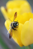 Close-up of Bumble Bee on Yellow Tulip Flower Stock Photo