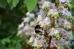 Close up of a bumblebee at the blossom of a chestnut tree stock images