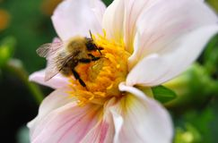 Close-up of bumblebee on  flower Royalty Free Stock Photos