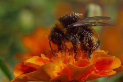 Close up of bumblebee Royalty Free Stock Photo