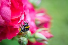 Bumblebee in mid-air next to a red garden rose. Stock Photo