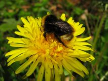 Bumblebee on a yellow dandelion flower in the field stock images