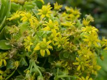 A Close up bunch of Aeonium succulent plant yellow flower in a spring season at a botanical garden. Close up bunch of Aeonium succulent plant yellow flower in a royalty free stock photography