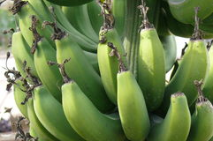 Close up of a bunch of bananas growing on the tree Stock Photography