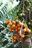 Close up of Bunch  Betel nut on a palm tree Stock Photo