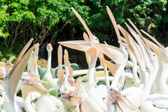 Close-up of a bunch of big white pelican birds with open mouths. Standing in a pool in the zoo Royalty Free Stock Photo