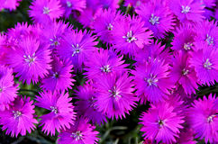 Close up of a bunch of bright fuchsia Aster blooms. A full frame of aster blooms vibrant and full stock photography