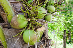 Close up bunch of fresh coconut on green palm tree stock photo