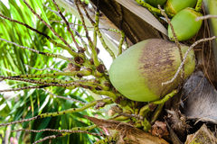 Close up bunch of fresh coconut on green palm tree Stock Image