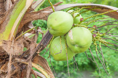 Close up bunch of fresh coconuts. Green coconut Royalty Free Stock Photo