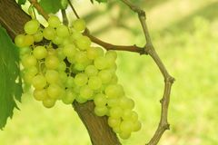 Close up bunch of fresh green grapes hanging in the vineyard.  stock photography