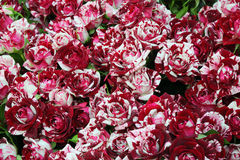 Close-up of bunch of freshly cut beautiful striped roses Royalty Free Stock Photos