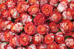 Close-up of bunch of freshly cut big roses. Royalty Free Stock Photography