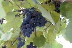 Fresh black grapes vine Close-up Stock Image