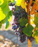 Close-up of bunch of grapes at vineyards royalty free stock image