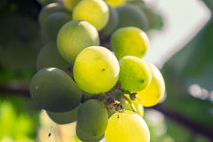 Close up of a bunch of green grapes. In the summer time royalty free stock images
