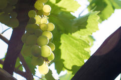 Close up of a bunch of green grapes. In the summer time stock photography