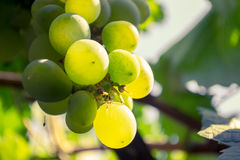 Close up of a bunch of green grapes. In the summer time royalty free stock photo
