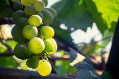 Close up of a bunch of green grapes. In the summer time stock images