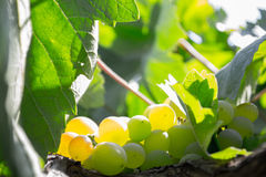 Close up of a bunch of green grapes. In the summer time Royalty Free Stock Image