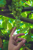 Close up of a bunch of green grapes. In the summer time. And a hand touching them stock photos