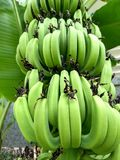 Bunch of green bananas on tree with blur background royalty free stock image