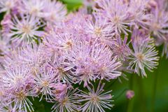 Lilac Spiky Flowers. Close up of a bunch of lilac colored spiky flowers stock images