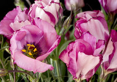 Close up bunch of pink lisianthus Stock Images