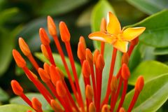 Close up bunch of red ixora flowers Royalty Free Stock Image