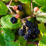 Close-up of a bunch of ripe blackberry. Square close-up of a bunch of black blackberry hanging ripe from a vine branch over a background of green leaves hit by stock photography