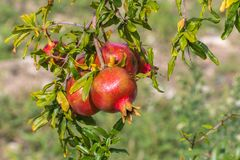 Close up of a bunch ripe succulent pomegranate fruit Punica gra. Natum hanging from tree on a sunny day Stock Images