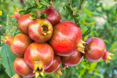 Close up of a bunch ripe succulent pomegranate fruit Punica gra. Natum hanging from tree on a sunny day Stock Photos