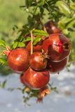 Close up of a bunch ripe succulent pomegranate fruit Punica gra. Natum hanging from tree on a sunny day Royalty Free Stock Photos