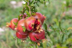 Close up of a bunch ripe succulent pomegranate fruit Punica gra. Natum, with two split open to reveal seeds Stock Photo