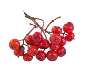 Close up of bunch of rowan berries isolated on w Stock Photography