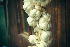 Close up of bunch of white garlic Allium sativum. Harvest time. drying on wooden background. Hanging to dry. Pile of garlic bulb. S hangs on old barn. Rich in Royalty Free Stock Photos