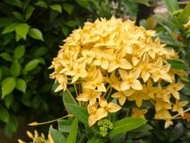 Yellow ixora flowers Royalty Free Stock Image