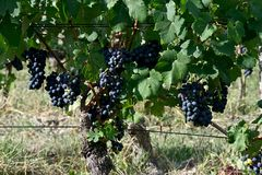 close up of bunches of black grapes royalty free stock photo