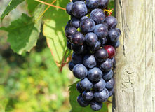 Close up of bunches of grapes on a vine. Stock Photos